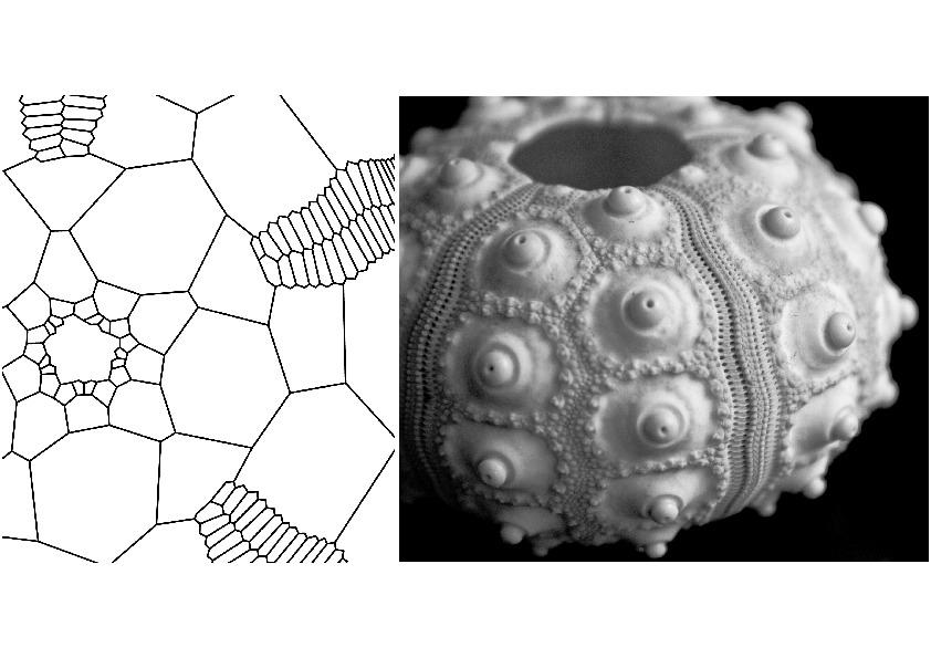 Schematische Darstellung der Plattentopologie beim Seeigel. Das Drei-Platten-Prinzip, auf dem das Schalenskelett der Echinoiden beruht, bildet die bionische Grundlage für die Anordung der Platten im Forschungspavillon.
