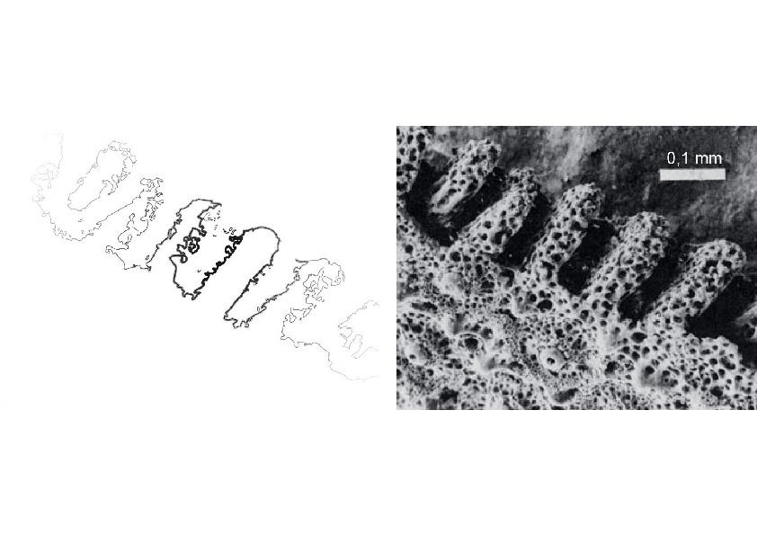 Schematische Darstellung und mikroskopische Aufnahme der beim Sanddollar typischen ß-Stereomprojektionen aus Kalzit, die eines der beiden aus den Echinoiden abgeleiteten bionischen Vorbilder darstellen.